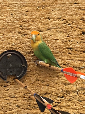 Peach Faced Lovebird Parakeet at Toronto Archery Range